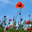 Stock Photo: Corn poppy - Papaver rhoeas (100)