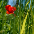 Corn poppy - Papaver rhoeas (103) — Stock Photo