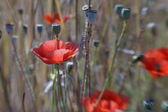 Corn poppy (Papaver rhoeas) with blurry background (2) — Stock Photo