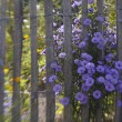 Garden fence with bright purple flowers (2) — Stock Photo