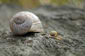 Little snail and big shell (2) — Stock Photo