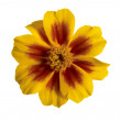 Tagetes flower — Stock Photo