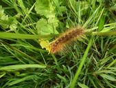Garden tiger moth caterpillar — Stock Photo