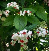 Glorybower flower — Stock Photo