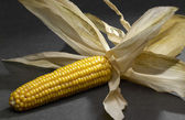 Open corn cob — Stock Photo