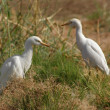Cattle Egrets — Stock Photo