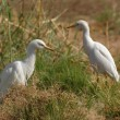 Cattle Egrets - Stock Photo