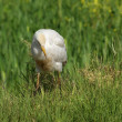 Cattle Egret — Stock Photo #17180311