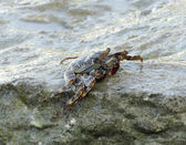 Crab and spume — Stock Photo