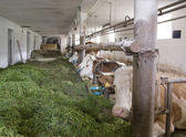Inside of a cow barn — Stock Photo