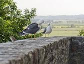 Gulls in France — Stock Photo