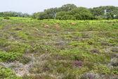 Heathlands scenery — Stock Photo