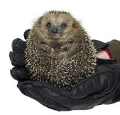 Holding a hedgehog — Stock Photo