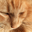 Maine Coon cat closeup — Stock Photo #38731703