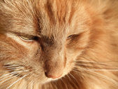 Maine Coon cat closeup — Stock Photo