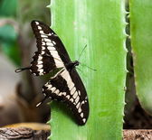Giant Swallowtail (Papilio cresphontes) — Stock Photo