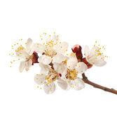 Flowering branch of sweet cherry — Stock Photo