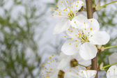 Marco. flores de cerezo — Foto de Stock