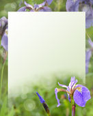 Ирис цветы на зеленом фоне для текста. — Стоковое фото