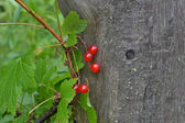 Red currant against a tree — Stok fotoğraf