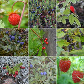 Collage from wild berries — Stock Photo