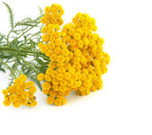 Tansy isolated on a white background — Stock Photo