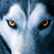 Stock Photo: Eyes of wolf