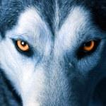 Eyes of wolf — Stock Photo