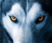 Olhos de lobo — Foto Stock