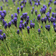 Viper onion unnoticed (Muscari neglectum) — Stock Photo