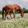 The horse and foal are grazed in the meadow — Stock Photo