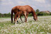 Hästen och föl betar på ängen — Stockfoto