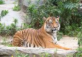 Hermoso tigre — Foto de Stock