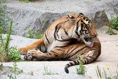 Mooie tijger — Stockfoto