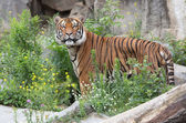 Beautiful tiger — Stockfoto