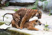 Tiger couple — Stock Photo