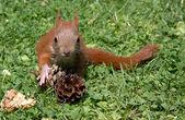 Squirrel baby — Stock Photo
