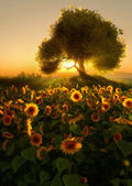 Sunflower Field, 3d CG — Stock Photo