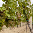 Stock Photo: Grapes in wine yard of South Moravia, Czech Republic