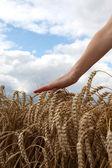 Hand in wheat field — Стоковое фото