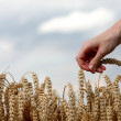 Hand in wheat field — Stock Photo #22668829