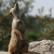 Suricate or meerkat (Suricata suricatta) standing on guard, South Africa - Stock Photo