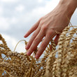 Hand in wheat field — Stock Photo #22669097