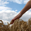 Hand in wheat field — Stock Photo #22669455