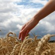 Hand in wheat field — Stock Photo #22670303