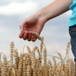 Hand in wheat field — Stock Photo #22670611