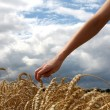 Hand in wheat field — Stock Photo #22670629