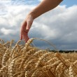 Hand in wheat field — Stock Photo #22670635