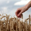 Hand in wheat field — Stock Photo #22670855
