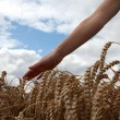 Hand in wheat field — Stock Photo #22670975